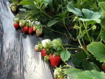乌兰草莓采摘基地